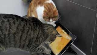 Katzen spielen mit dem iPad