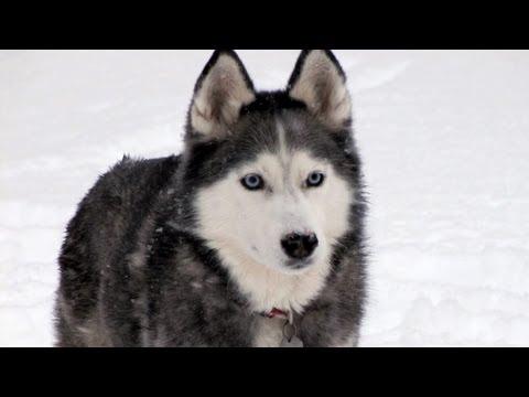 Siberian Husky Tricks & Valentine's Gift for the Girls - Fan Friday #44