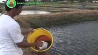 Aquaculture: Grow-out Of Saline Tilapia