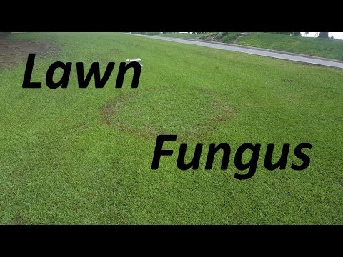 Lawn Fungus - Large Patch in Centipede Lawn