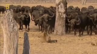 Львы хулиганы Документальные фильмы National Geographic HD