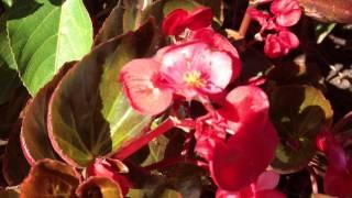 Begonia semperflorens-cultorum - Wax Begonia