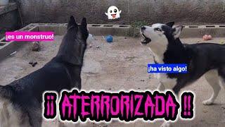 Mi husky aterrorizada!! 😱 ¿Qué ha visto? 😲 ¿Por qué ladra?