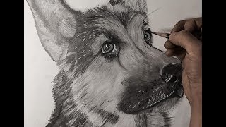 How to Draw a Realistic German Shepard: Tutorial