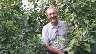 Яблоневый сад Сергея Пеганова. Прищипка, прививка и защита яблонь
