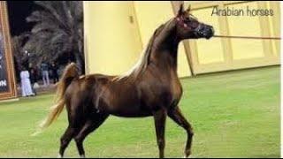 Arabian horses Stallion Champion💪حصان عربي اصيل البطل العالمي الراقص سبارتكوس😍 ولد مروان الشقب