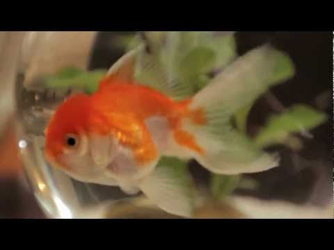 Curious Cat Pt 4: The Hiphop Goldfish