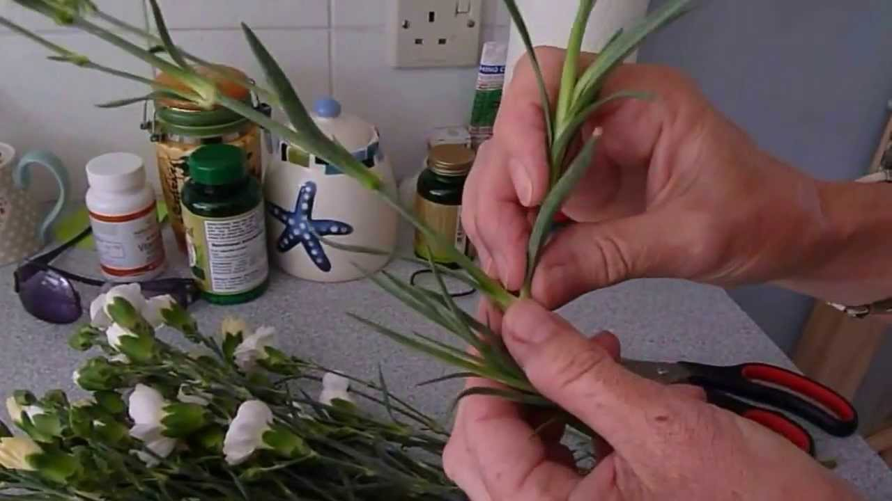 Carnation Creationwiki The Encyclopedia Of Creation Science