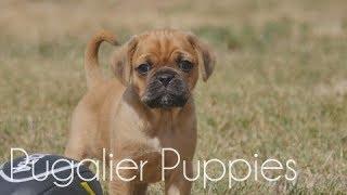 Pugaliers Puppies jumping around!!!
