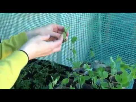 Basic guide to pinching out sweet peas