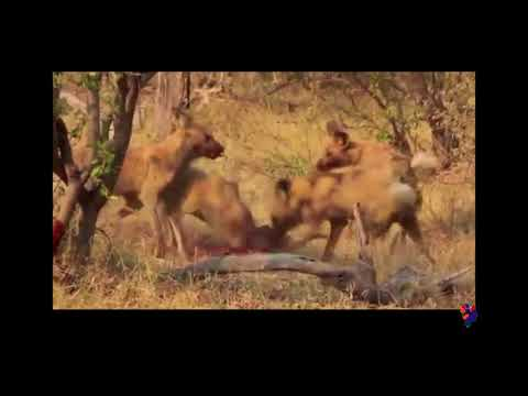 Reasons Why African Wild Dogs Cannot Be Domesticated