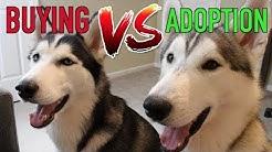 Buying A Husky vs. Adopting A Husky