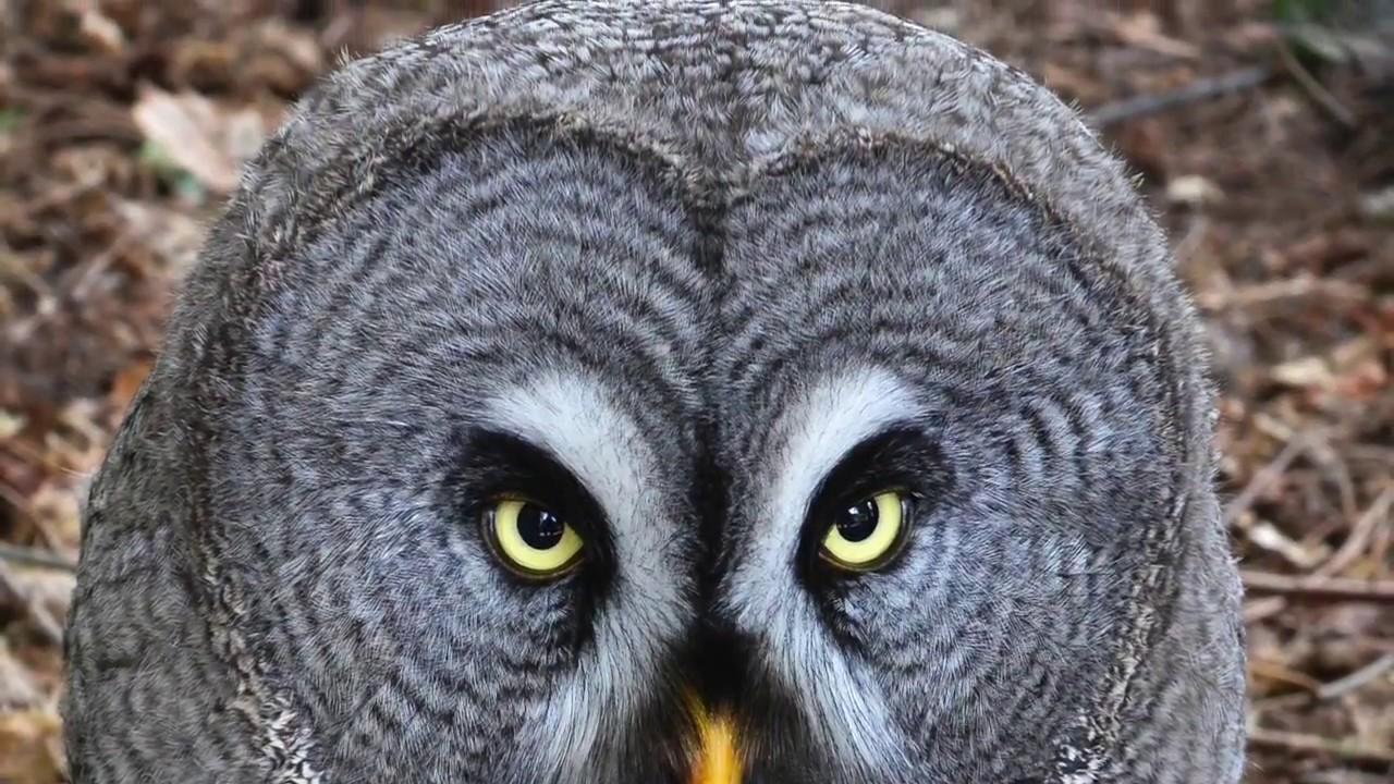 Great grey owl call HD - YouTube