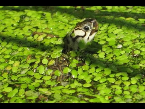 General Turtle Care and Setup: Baby Turtles - YouTube