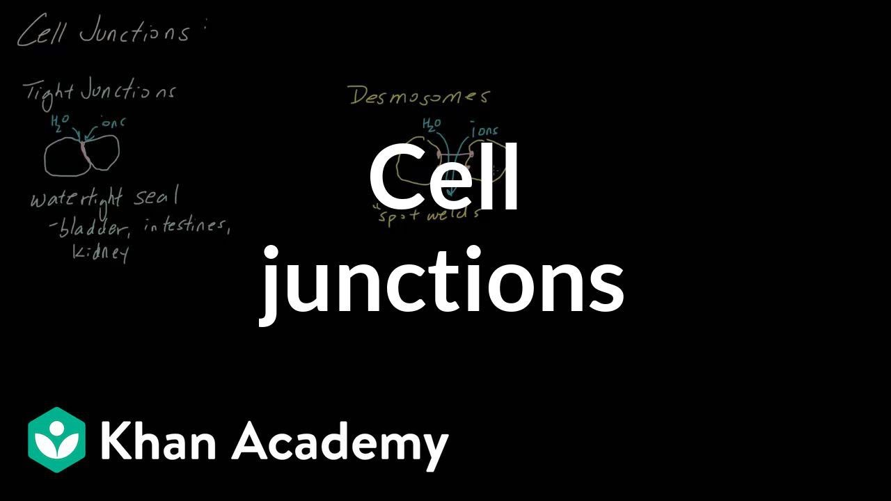 Cell Junctions Video Cells Khan Academy