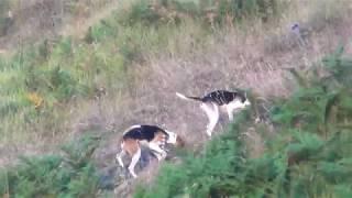 ΚΥΝΗΓΙ ΛΑΓΟΥ στο Γραμμο! Ομαδα χαριερ! Hare hunting with Harrier Hounds!