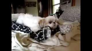 Ши-тцу.очень смешные собачки (5)