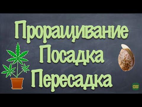 GrowShock - Проращивание, посадка, пересадка семян конопли, каннабиса, марихуаны