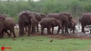Unbelievable Elephant Rescue Kudu From Wild Dogs Hunting  Animals Save Another Animals