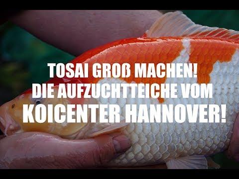 Abfischung der Aufzuchtteiche vom Koicenter Hannover
