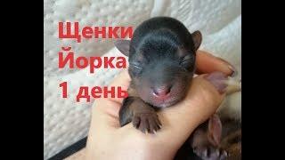 Рождение щенков йорка. Первый день жизни.