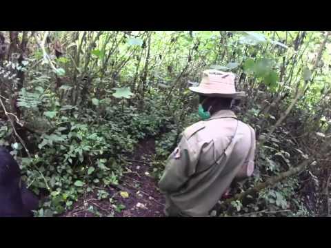 Gorilla Trek in the Congo