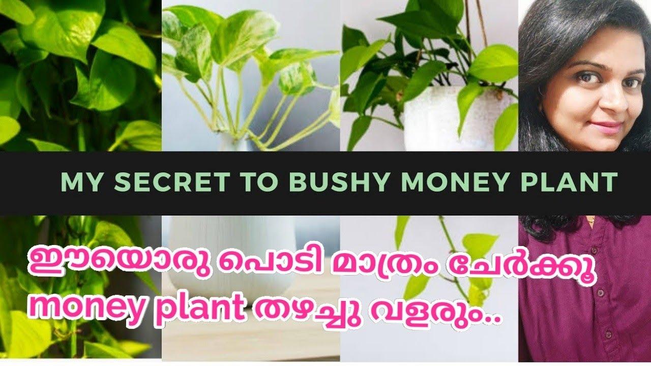 My secret to bushy and longer pothos/Money plant/Tips and tricks/Care and propogation/Salu koshy/