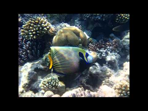 Emperor Angelfish In The Red Sea