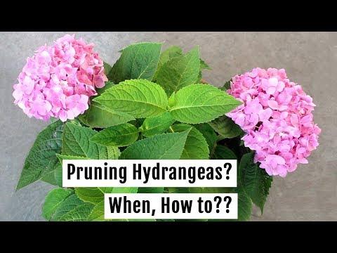 To Prune Or Not To Prune? My Secrets To Make Hydrangeas Bushy