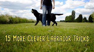 15 Clever Labrador Tricks