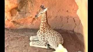 TMVA - La pequeña jirafa de Bioparc ya pasea por el parque 25/08/11
