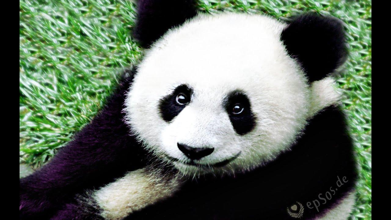 Cute Panda Bear Peeing In Zoo Of Singapore Youtube