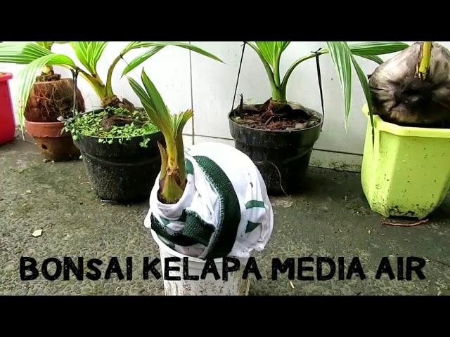 Download Cara Mudah Membuat Bonsai Kelapa Media Air Mp3 Mp4 3gp