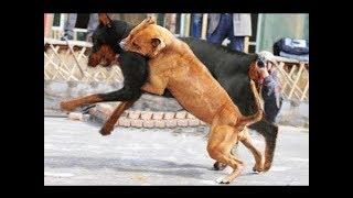 Rottweiler Attacks a Pitbull!!!