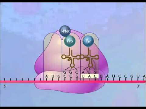 """Résultat de recherche d'images pour """"الوحدة 1 النشاط 2 : مقر تركيب البروتين"""""""