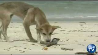 Did a Dingo Really Take The Baby?