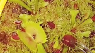 Venus atrapamoscas comiendose una babosa