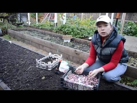 Как правильно сажать чеснок в зиму