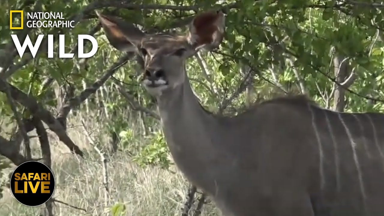 Safari Live - Day 283 | Nat Geo Wild