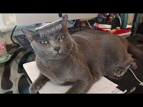 แปรงขนให้แมวโคราช ก็อดลองวางแปรงบนหัวแมวไม่ได้ ทดสอบการบาลานซ์ Cat balancing  brush on the head