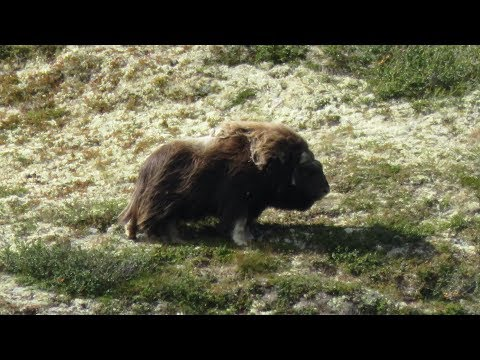 Dovrefjell - Rondane Nationalpark 2017 - Trekking Wanderung