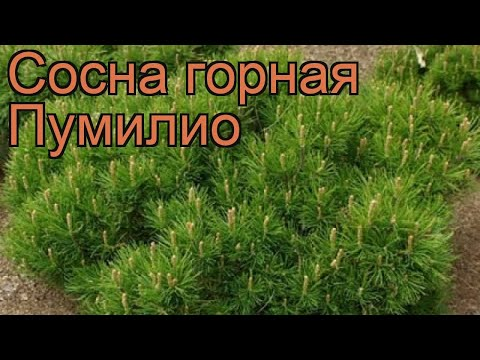 Сосна горная Пумилио (pinus mugo pumilio) 🌿 сосна Пумилио обзор: как сажать саженцы сосны Пумилио
