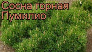 Сосна горная Пумилио (pinus mugo pumilio) ???? сосна Пумилио обзор: как сажать саженцы сосны Пумилио