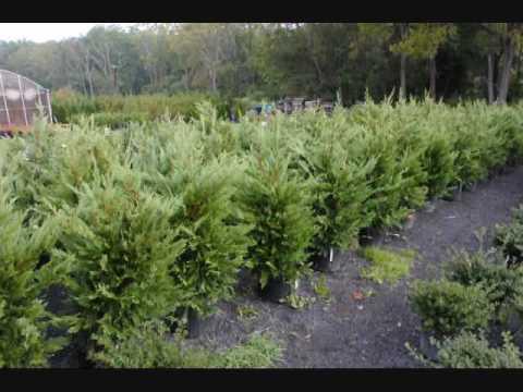The Dawn Redwood Trees  We Grow