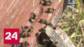 Медовый кризис: пестициды и химикаты убивают пчел - Россия 24