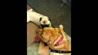 Dogue De Bordeaux And Pug