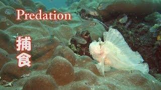 ハダカハオコゼ 捕食 水中映像 Leaf scorpionfish  Paperfish Hunting