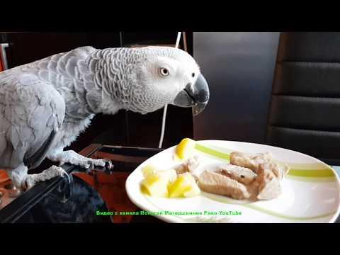 Наблатыканный попугай матершинник ест варёную картошку с мясом говорящий попугай Рико Жако
