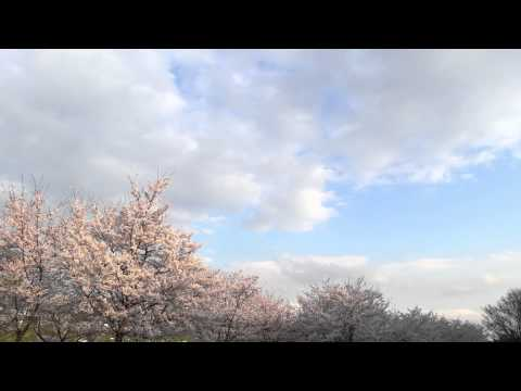 South Korea, Cherry Blossoms in Pohang  (HD 1080p) Using Can