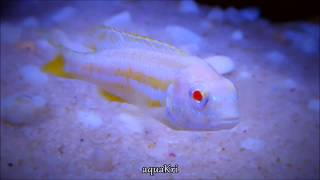 Albino Auratus Fish (Melanochromis Auratus Cichlid)